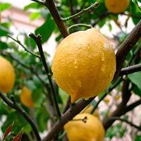 Про користь лимона і як виростити домашнього лікаря?
